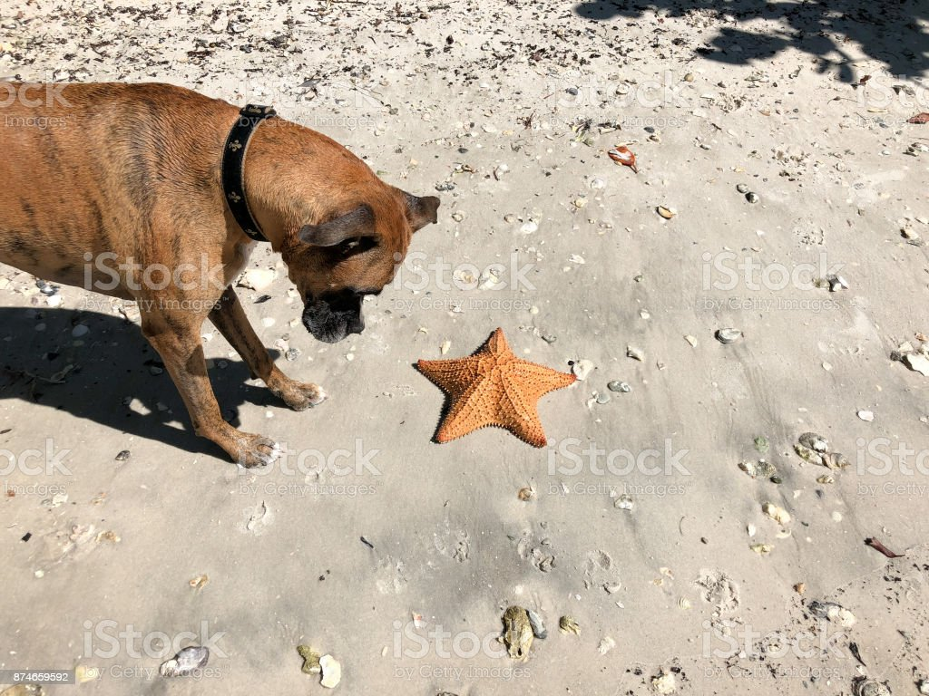 dog playing with starfish (cushion sand Star) on the sand stock photo