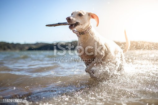 Dog playing with stick.