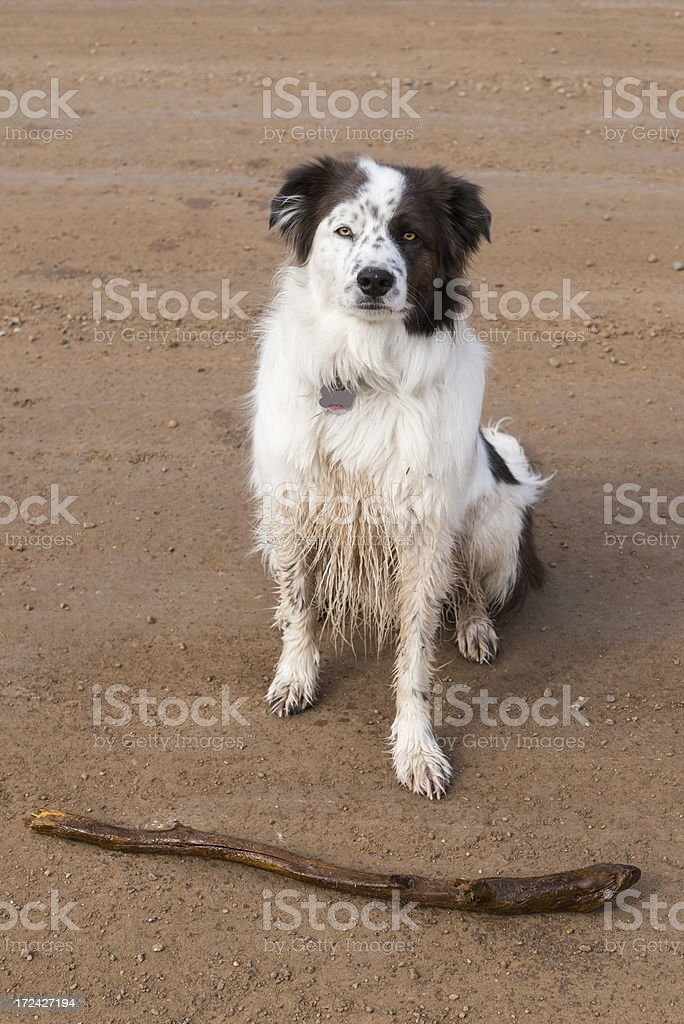 Dog Playing with Stick royalty-free stock photo
