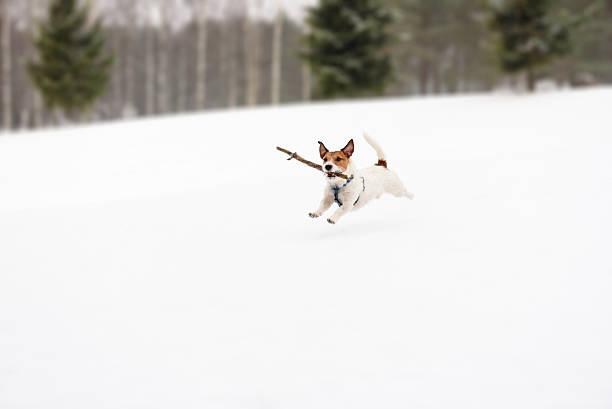 dog playing with toy on winter snowy golf field - schneespiele stock-fotos und bilder