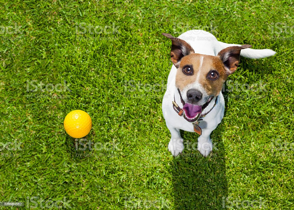 dog playing with toy or bone stock photo