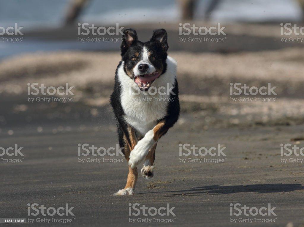 Dog plays and runs on the beach