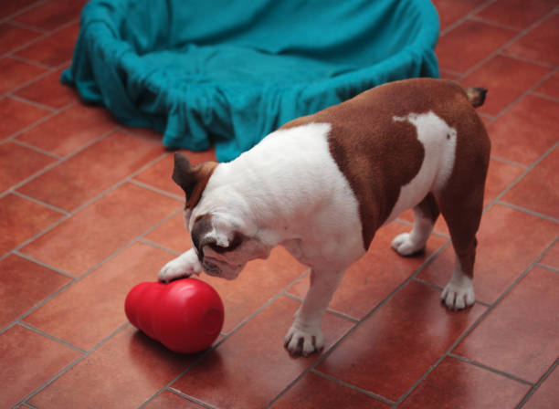 dog plays at home with a plastic toy dog plays at home with a plastic toy dog paws at toy stock pictures, royalty-free photos & images