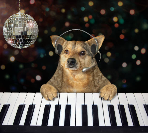 Dog plays the piano in a nightclub 3 stock photo