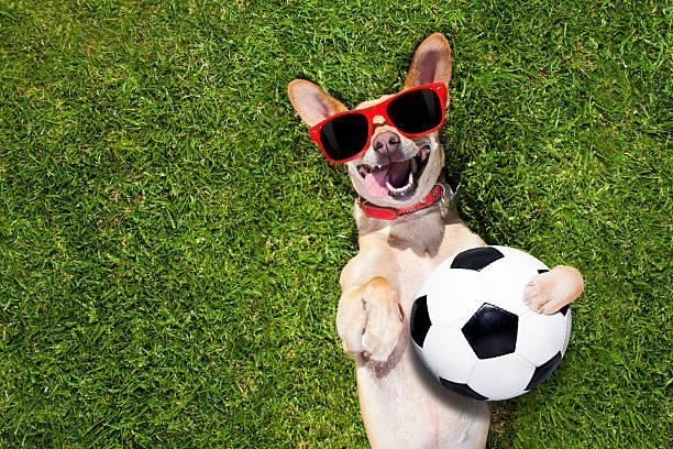 dog plays with soccer ball - foto de acervo