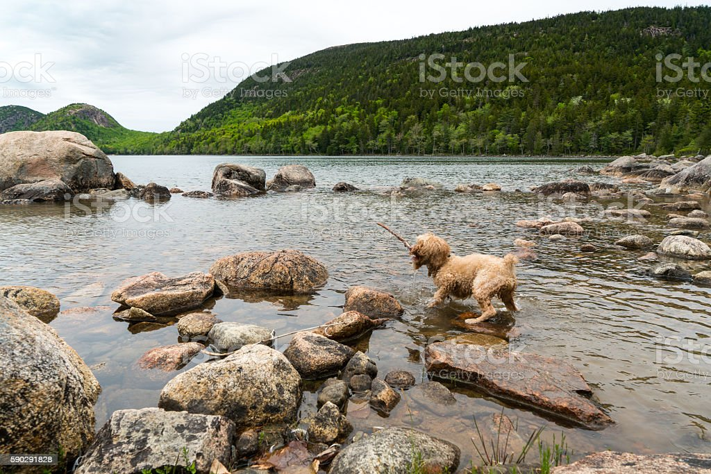 Dog Plays with Stick on Shore stock photo