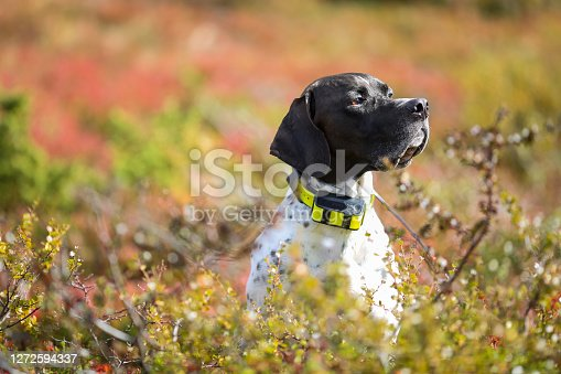 Dog english pointer with GPS collar sitting in the grass