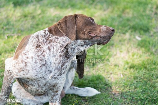 Dog pointer scratching in the grass