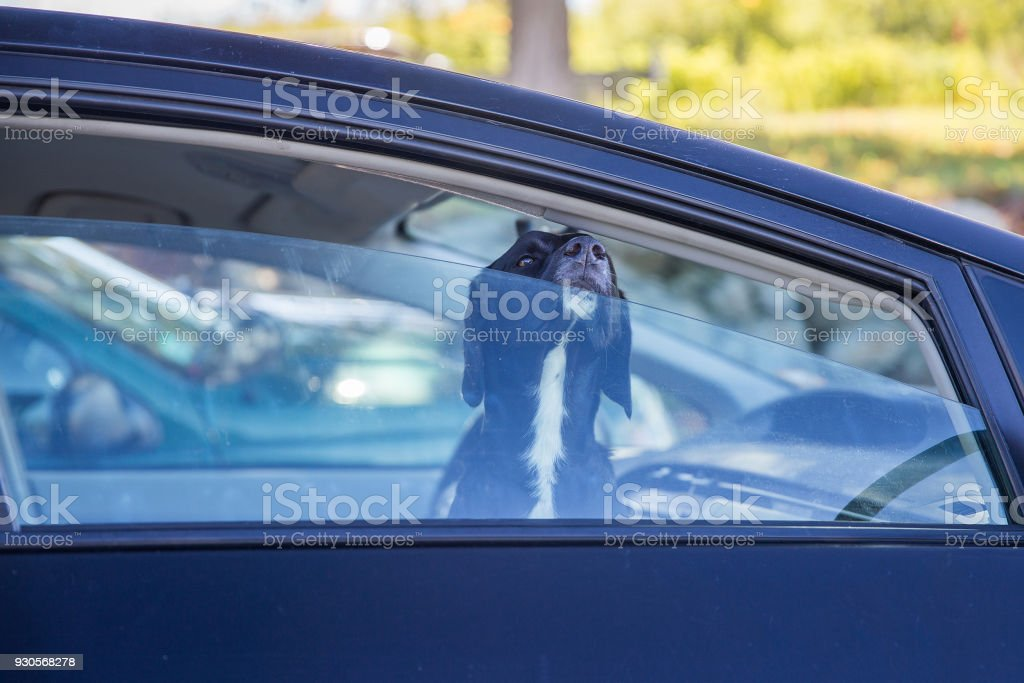 dog pokes its muzzle out of the car window stock photo