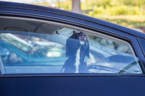 dog pokes its muzzle out of the car window black labrador looking through car window snout stock pictures, royalty-free photos & images