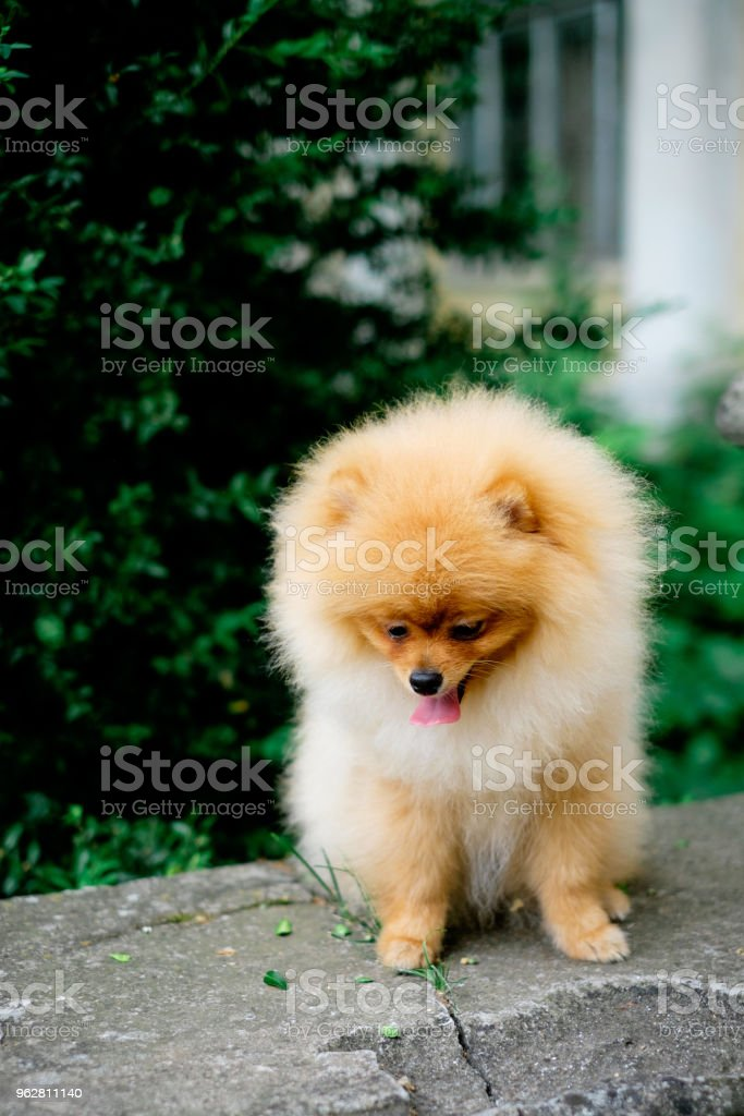 dog pomeranian spitz smiling watch the evening sun at the park's nature. - Foto stock royalty-free di Ambientazione esterna