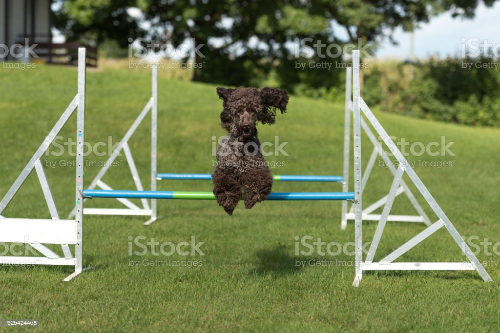 Hund Pudel in Agility Parcour - König Pudel – Foto