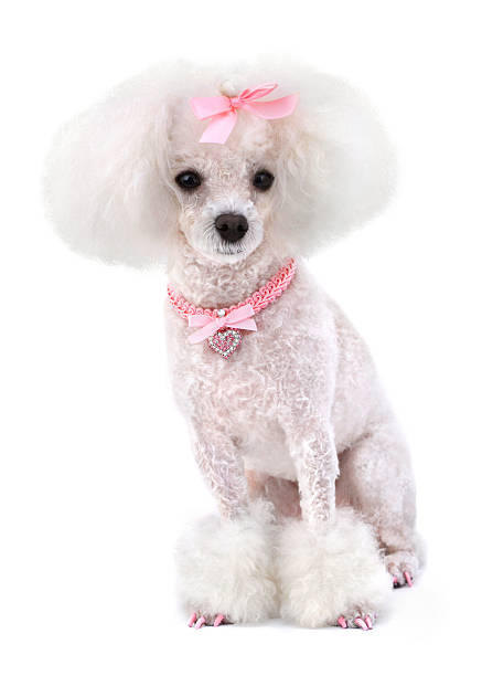 Dog Poodle Dog Poodle with Pink Bow, Collar and Nails Isolated on White. poodle stock pictures, royalty-free photos & images