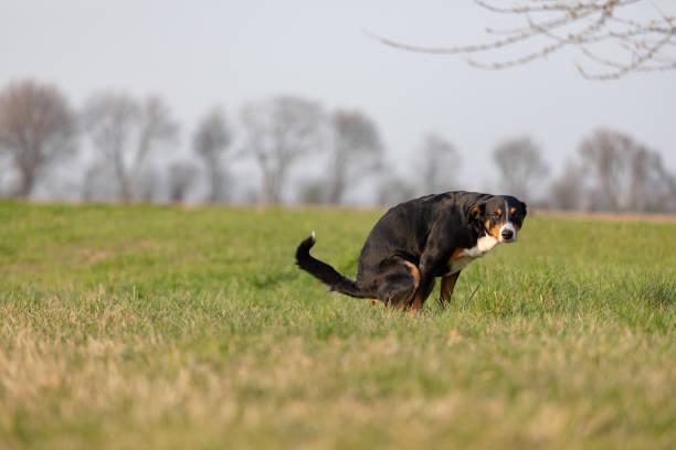 Dog pooing on greensward picture id1137932946?b=1&k=6&m=1137932946&s=612x612&w=0&h=jsqdilk883ncjiwvvtxcknrsx77krbquj2vhtpefyey=