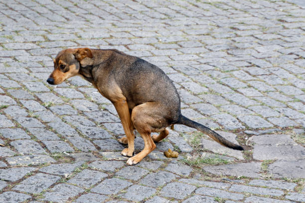 dog pooping on the street stock photo