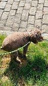 istock Dog pooping 1257637347