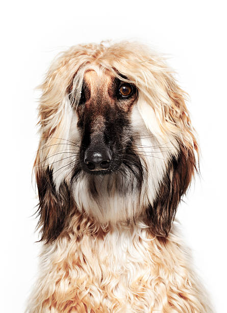 Dog Portrait - Afghan Hound stock photo