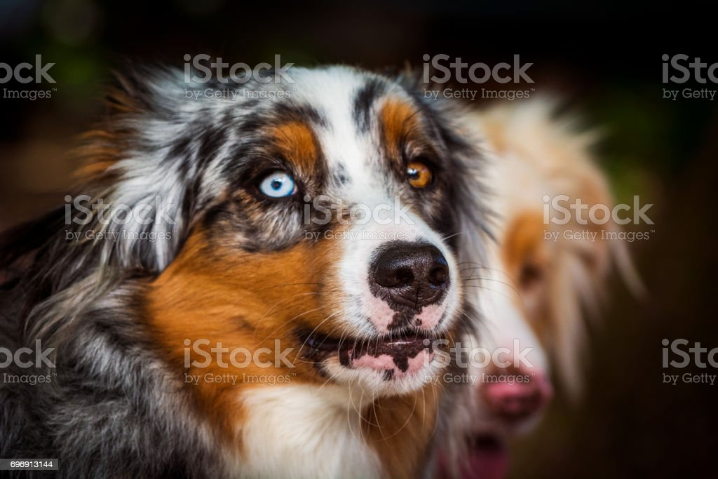 Dog portrait - Australian Shepherd with eyes of differing colour stock photo