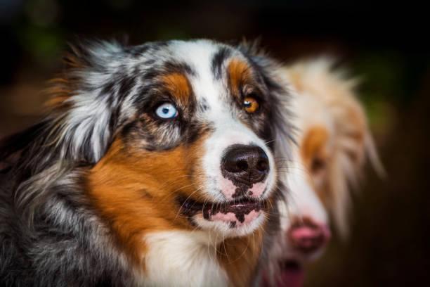 Hund-Porträt - Australian Shepherd mit Augen von unterschiedlicher Farbe – Foto