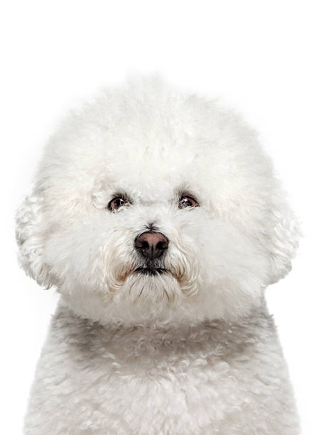 Dog portrait bichon frise picture id183411650?b=1&k=6&m=183411650&s=612x612&w=0&h= pstwnfy04gcrpvp9ovkaihdskazuct pxyt35vjnxc=
