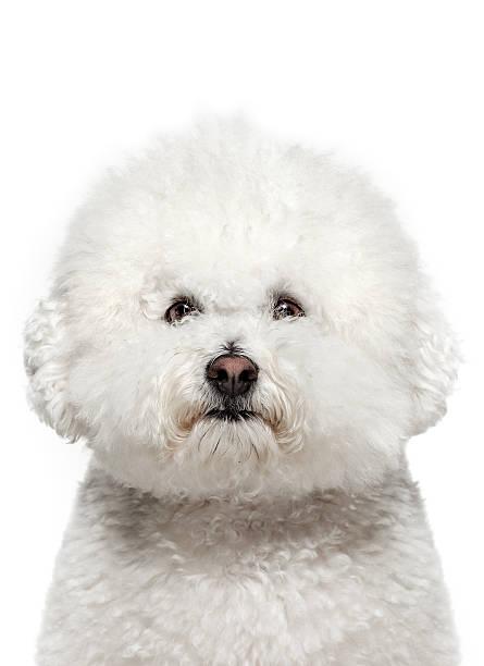 Dog portrait bichon frise picture id183411650?b=1&k=6&m=183411650&s=612x612&w=0&h= pstwnfy04gcrpvp9ovkaihdskazuct pxyt35vjnxc=
