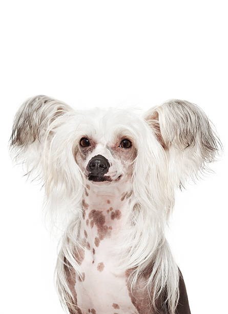 Dog Portrait - Chinese crested stock photo