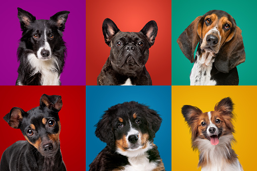 Portrait collection of different dog breeds
