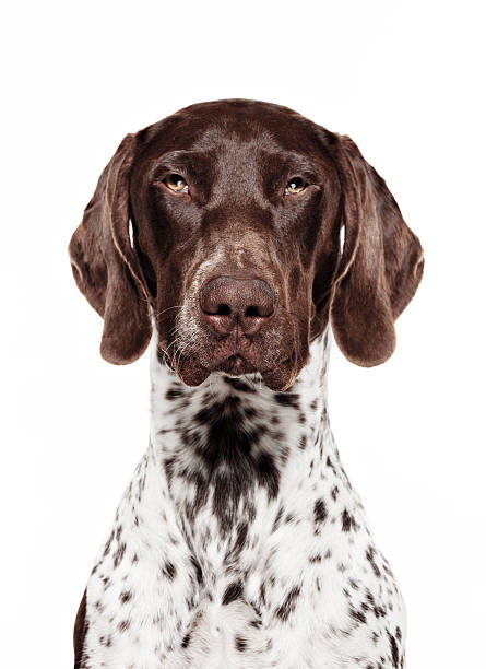 Dog Portrait - German short-haired pointer stock photo