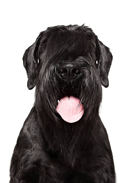 Dog Portrait - Giant Schnauzer stock photo
