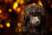 dog portrait gold bokeh dark background