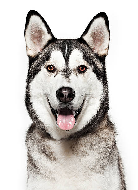 Dog Portrait - Husky stock photo