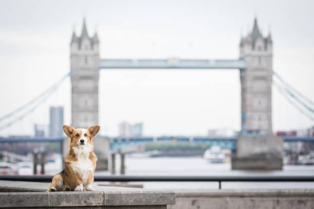 Dog Portrait in front of Tower Bridge Corgi Portrait tower bridge stock pictures, royalty-free photos & images
