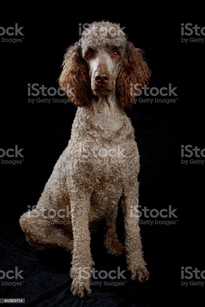 Dog Portrait in Studio stock photo