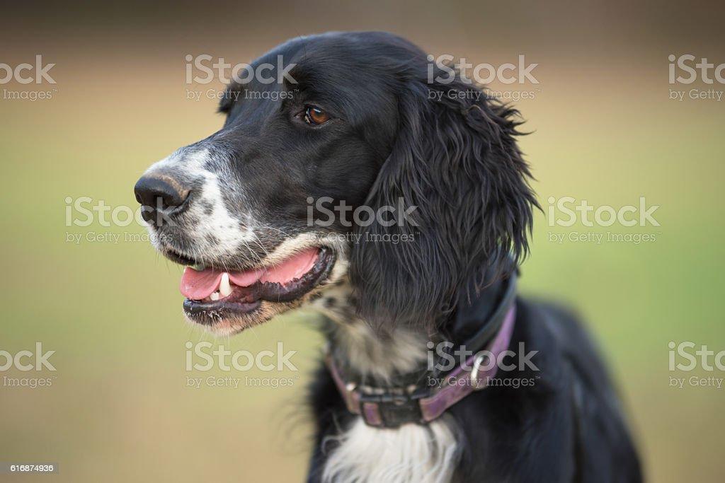 Dog Portrait of a english setter stock photo