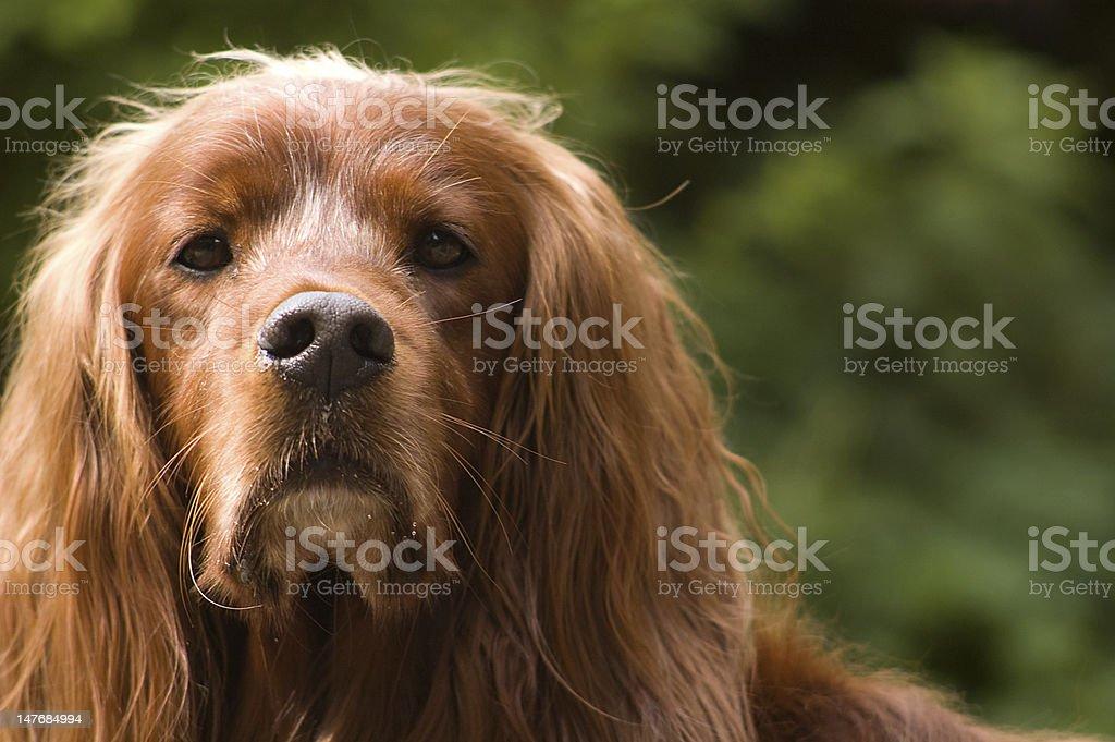 Dog - portrait of an Irish Setter stock photo