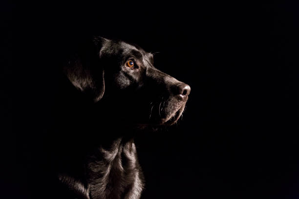 dog portrait on black background. Beautiful black labrador with a tie stock photo