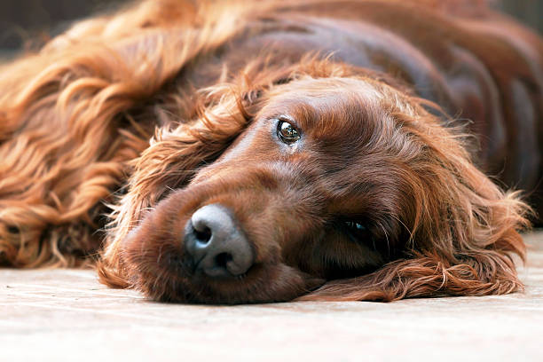 Dog portrait Portrait of a beautiful lazy Irish Setter irish setter stock pictures, royalty-free photos & images