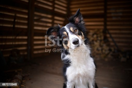Portrait of a Border Collie (tricolor)