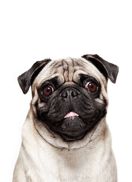 Dog Portrait - Pug stock photo