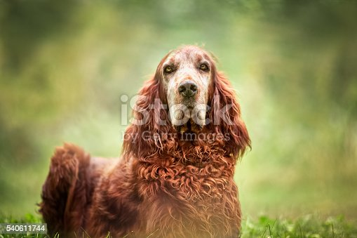A dog portrait of a handsome Red Irish Setter. Dog is sitting outdoors in nature, closeup and sitting upright on the grass, looking straight into camera. No people in this high resolution color photograph with horizontal composition. Pretty green bokeh background.