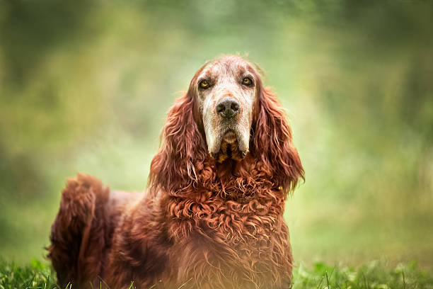 Dog Portrait - Red Irish Setter Outdoors In Nature A dog portrait of a handsome Red Irish Setter. Dog is sitting outdoors in nature, closeup and sitting upright on the grass, looking straight into camera. No people in this high resolution color photograph with horizontal composition. Pretty green bokeh background. irish setter stock pictures, royalty-free photos & images