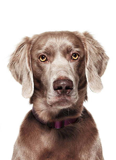 Dog Portrait - Weimaraner stock photo