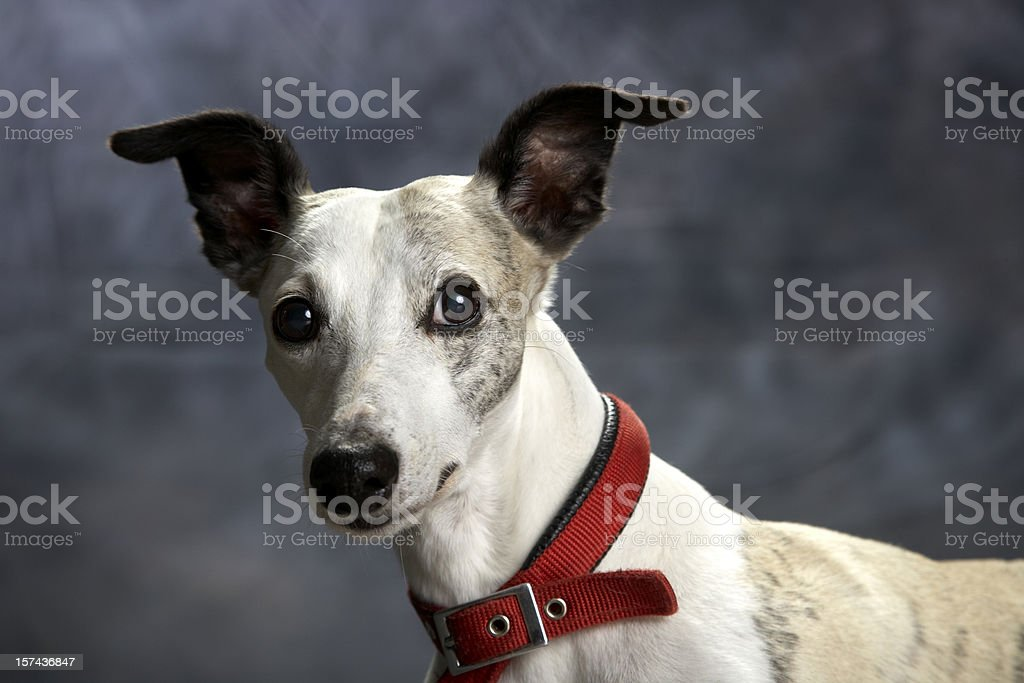 Dog portrait: whippet with funny awareness ears stock photo