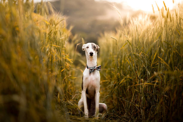 Dog posing sitting in the wheat fields A cute dog posing sitting in the wheat fields whippet stock pictures, royalty-free photos & images