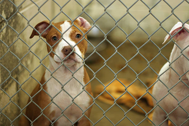 Dog Pound Puppy dog eagerly awaits adoption from the animal shelter  sheltering stock pictures, royalty-free photos & images