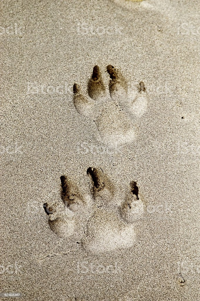 Dog Prints in sand royalty-free stock photo