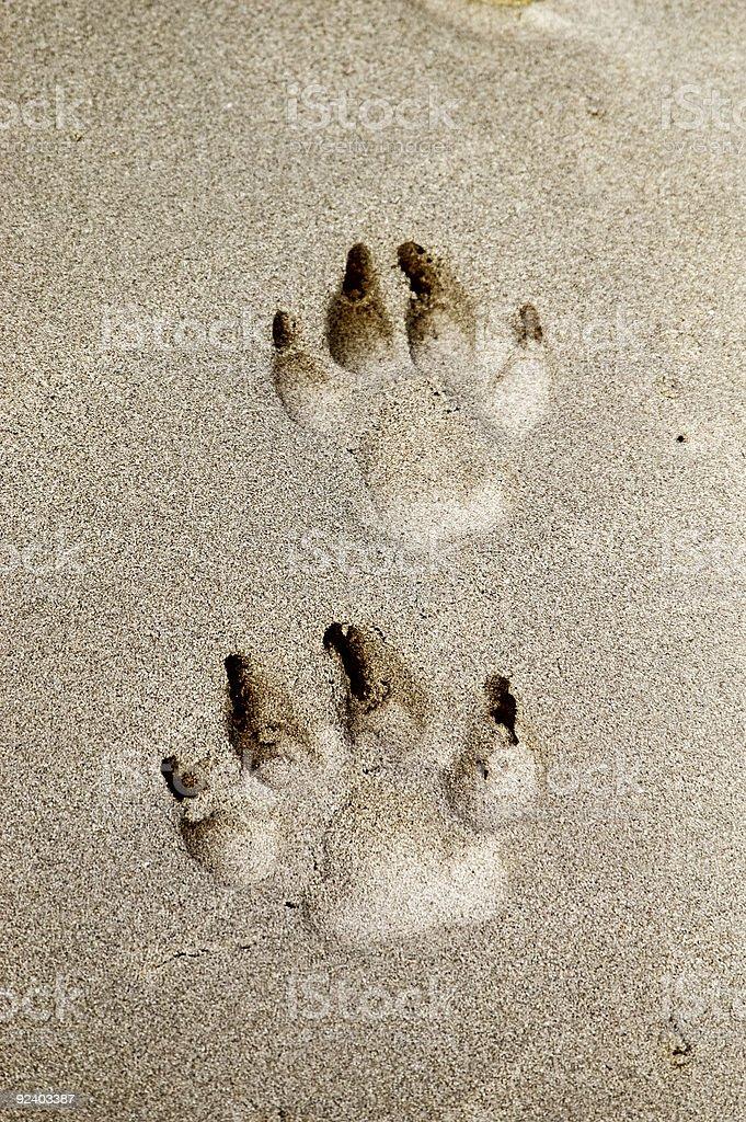 Dog Prints in sand stock photo