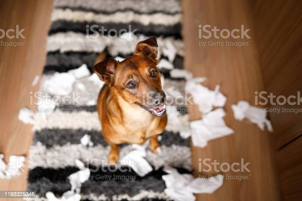 Dog proud of its mess picture id1193325346?b=1&k=6&m=1193325346&s=612x612&h=l1wdmln8end63egzuz64r6fdvnyw3by9gflatecqjlo=