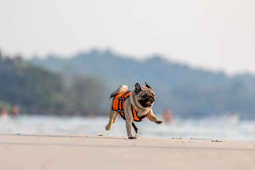 Portrait of Pug Dog