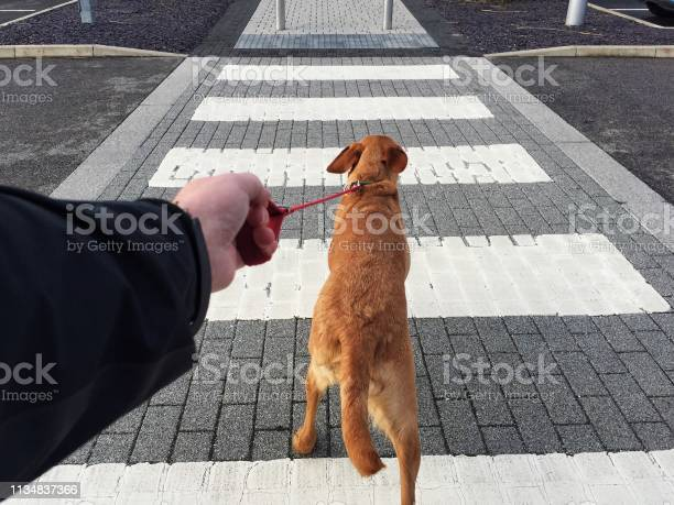 Dog pulling hard on a leash across a pedestrian road crossing picture id1134837366?b=1&k=6&m=1134837366&s=612x612&h=k3ebobkmjk7dpwlmwxifqzxyymlshljd9maiehubulu=